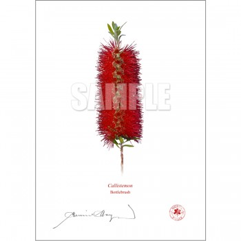 010 Bottlebrush (Callistemon) - With Mat and Backing