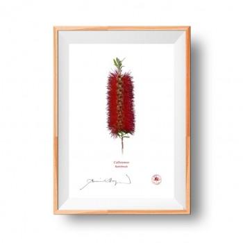 010 Bottlebrush (Callistemon) - Flat Print, No Mat