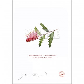 025 Grevillea 'Poorinda Royal Mantle' - Flat Print, No Mat
