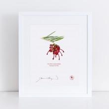 041 Rosemary Grevillea (Grevillea rosmarinifolia) - With Mat and Backing