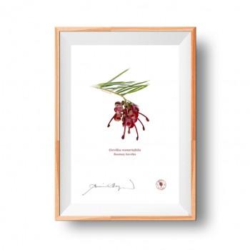 041 Rosemary Grevillea (Grevillea rosmarinifolia) - Flat Print, No Mat