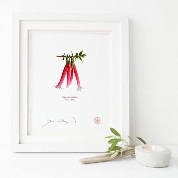 060 Native Fuchsia (Epacris longiflora)