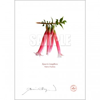 060 Native Fuchsia (Epacris longiflora) - With Mat and Backing
