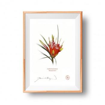 095 Mountain Devil (Lambertia formosa) - Flat Print, No Mat