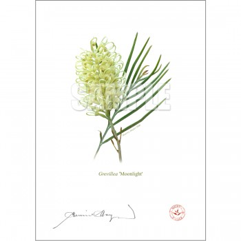 112 Grevillea 'Moonlight' - Flat Print, No Mat