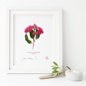121 Red Ironbark (Eucalyptus sideroxylon 'Rosea') - Flat Print, No Mat