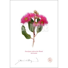 121 Red Ironbark (Eucalyptus sideroxylon 'Rosea') - With Mat and Backing
