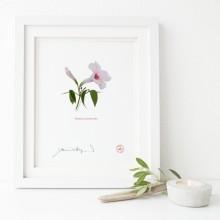 123 Pandorea jasminoides - Flat Print, No Mat