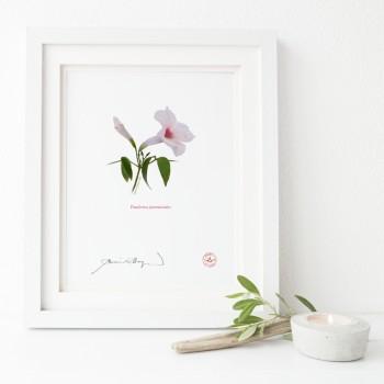 123 Pandorea jasminoides