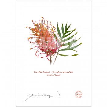 Grevillea Collection 1 Diptych - With Mats and Backing