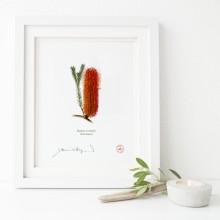 148 Heath Banksia (Banksia ericifolia) - Flat Print, No Mat