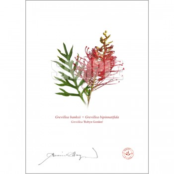 149 Grevillea 'Robyn Gordon' - With Mat and Backing