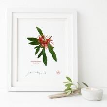 155 Firewheel Tree (Stenocarpus sinuatus) - Flat Print, No Mat