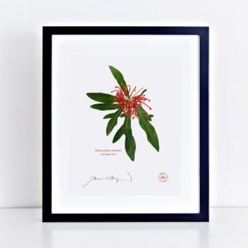 155 Firewheel Tree (Stenocarpus sinuatus) - With Mat and Backing