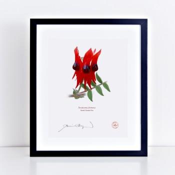 160 Sturt's Desert Pea (Swainsona formosa) - Flat Print, No Mat
