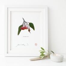 161 Eucalyptus caesia - Flat Print, No Mat