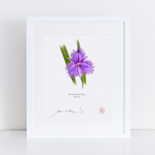163 Fringe Lily (Thysanotus tuberosus) - With Mat and Backing