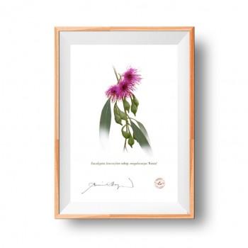 Eucalyptus leucoxylon subspecies Diptych - Flat Prints, No Mats