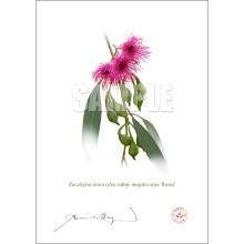 164 Eucalyptus leucoxylon subsp. megalocarpa 'Rosea' - Flat Print, No Mat