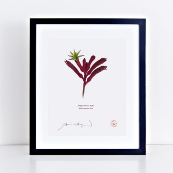 175 Red Kangaroo Paw (Anigozanthos rufus) - Flat Print, No Mat