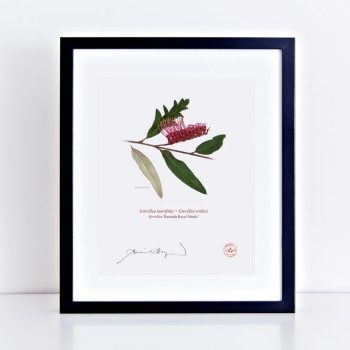 190 Grevillea 'Poorinda Royal Mantle' - With Mat and Backing