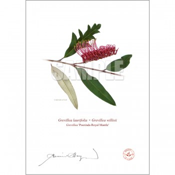 190 Grevillea 'Poorinda Royal Mantle' - Flat Print, No Mat