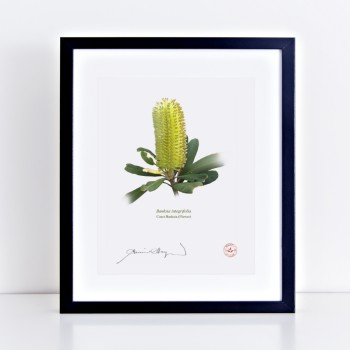 Life of a Banksia Flower Triptych - Flat Prints, No Mats