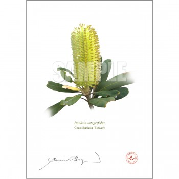 192 Coast Banksia Flower (Banksia integrifolia) - With Mat and Backing