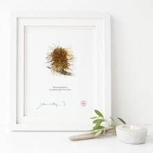 193 Spent Coast Banksia Flower (Banksia integrifolia)- Flat Print, No Mat