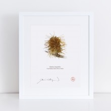 193 Spent Coast Banksia Flower (Banksia integrifolia) - With Mat and Backing
