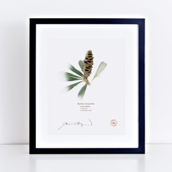 194 Coast Banksia Seed Cone and Leaf (Banksia integrifolia) - With Mat and Backing