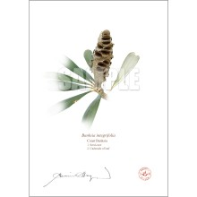 194 Coast Banksia Seed Cone and Leaf (Banksia integrifolia)- Flat Print, No Mat