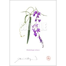 203 Hardenbergia violacea - With Mat and Backing
