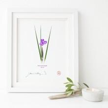 204 Day Iris (Patersonia fragilis)- Flat Print, No Mat