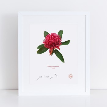 205 Waratah (Telopea speciosissima) - With Mat and Backing