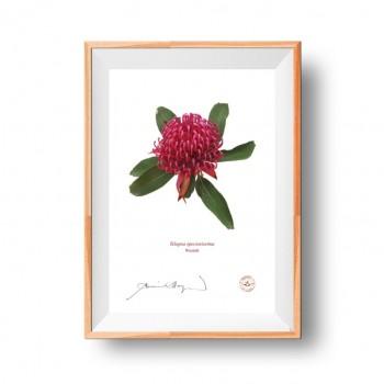 205 Waratah (Telopea speciosissima)- Flat Print, No Mat