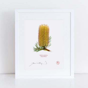 Banksia Flower Collection 1 Triptych - With Mats and Backing