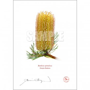 223 Hairpin Banksia (Banksia spinulosa) - With Mat and Backing