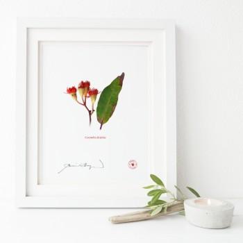 224 Corymbia ficifolia