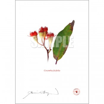 224 Corymbia ficifolia - Flat Print, No Mat