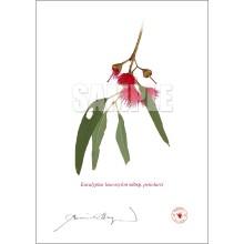 229 Eucalyptus leucoxylon subsp. petiolaris - Flat Print, No Mat