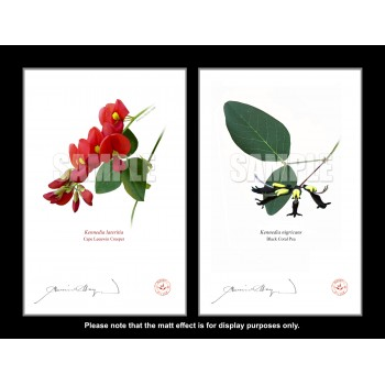 Kennedia species Diptych - Flat Prints, No Mats