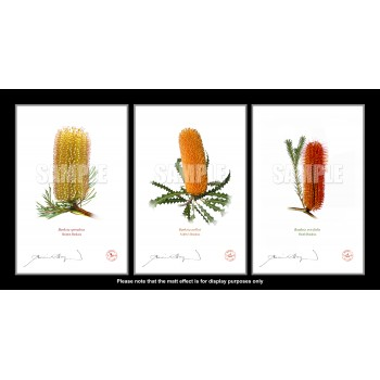 Banksia Flower Collection 1 Triptych - Flat Prints, No Mats