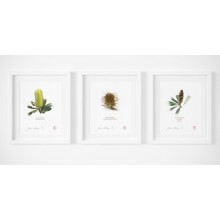 Life of a Banksia Flower Triptych - With Mats and Backing