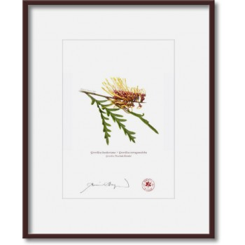 028 Grevillea 'Poorinda Blondie' - 5″×7″ Print Ready to Frame With 8″×10″ Mat and Backing