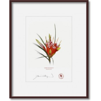 095 Mountain Devil (Lambertia formosa) - 5″ × 7″ Print Ready to Frame With 8″ × 10″ Mat and Backing