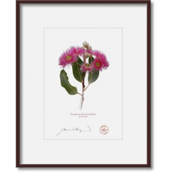 121 Red Ironbark (Eucalyptus sideroxylon 'Rosea') - 5″ × 7″ Print Ready to Frame With 8″ × 10″ Mat and Backing
