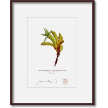 133 Kangaroo Paw (Anigozanthos 'Yellow Gem') - 5″ × 7″ Print Ready to Frame With 8″ × 10″ Mat and Backing