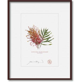 135 Grevillea 'Superb' - 5″×7″ Print Ready to Frame With 8″×10″ Mat and Backing