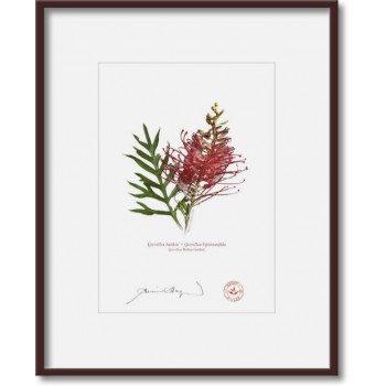 149 Grevillea 'Robyn Gordon' - 5″×7″ Print Ready to Frame With 8″×10″ Mat and Backing